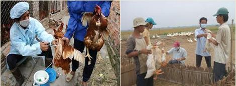 ベトナムの鳥インフルエンザの状況